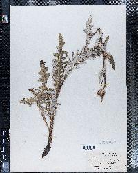Image of Carduus griseus