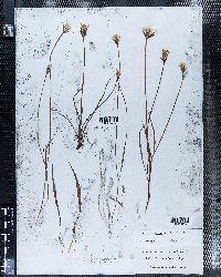 Microseris nutans image