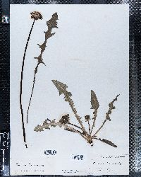Image of Taraxacum dens-leonis