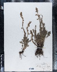 Image of Artemisia saxicola