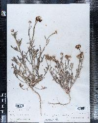 Baileya pleniradiata image