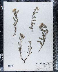 Image of Chrysopsis alpicola