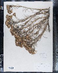Image of Bigelowia graveolens