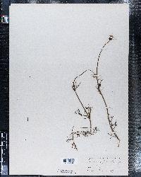 Cosmos bipinnatus image