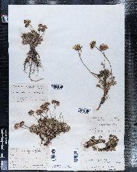 Erigeron compositus image