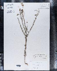 Erigeron bellidiastrum image