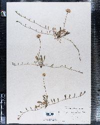 Erigeron flagellaris image
