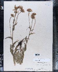 Erigeron salsuginosus image