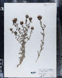 Grindelia squarrosa var. quasiperennis image