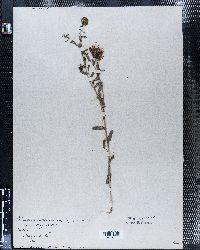 Grindelia squarrosa image