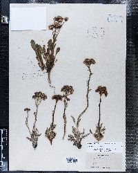 Packera fendleri image