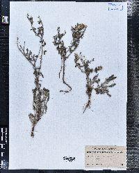 Psilostrophe tagetina image