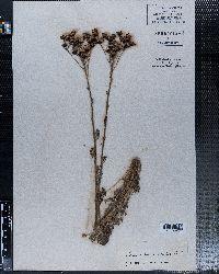 Image of Senecio multidentatus