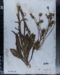 Senecio hydrophilus image